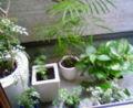 とりあえずシマトネリコたち植物をベランダへ出すなう。雨が続いてた