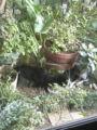 幻の猫が姿を現しました。真っ黒と黒白の兄弟猫です(写真じゃ全然わ