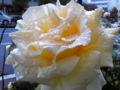 しっとりした感じの白いバラ。