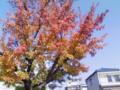 クリフトンの紅葉。下枝はまだ緑色ですね。グラデがとてもきれいです