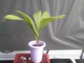 @biguppalm こんな感じのパナマソウは指宿にはありませんか?