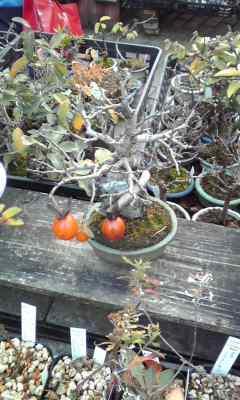 盆栽キタコレ