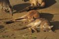 昼寝中のカンガルーがめちゃめちゃ可愛かった。kangaroo was so lovely!