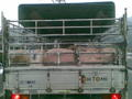 前のトラックに豚が詰まっていたのでおもわず撮る。
