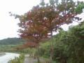 南の島でも紅葉なう〜モモタマナ方言名クバディサ