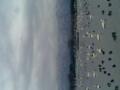 瓢湖に来ました。鳥、鳥、鳥…壮観です。