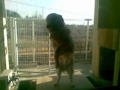 実家の犬がいつの間にか巨大化している。体は大人、頭脳は子供みたい