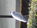 新年好。大晦日の東本願寺前にこんなのがいました。なんとい う鳥で