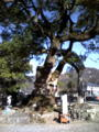 でけえカシの木。でかい木はいいなあ