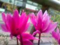 チモという八重ざきのシクラメン。よくみると花にはんてんが病気かも