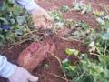 紅芋収穫。なんとか法で規制されているので見てるだけ。
