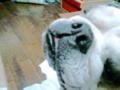 Today's Ume,Bulldogo(^-^)o 今日の梅。ブルドッグ