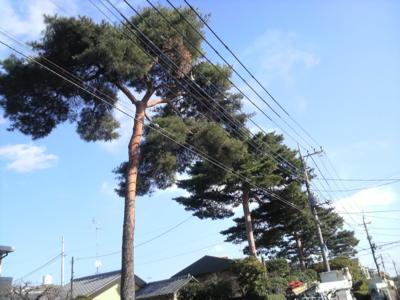 今日は青空♪ しかし、空気が冷たいねえ…  写真は浜田山の三本松です