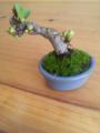 ボロ市で買った、手の平サイズよりさらに小さな盆栽。緑がどんどん出