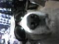 私の犬です(`・ω・´)EARTH時代のToshIとオソロのサングラス(^o^)/