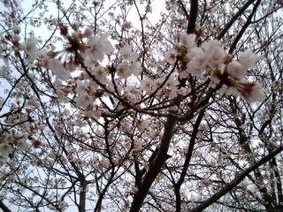 今日はデイケアでお花見です。