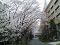 学校なう。桜が綺麗。