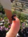ツマグロヒョウモン 幼虫→蛹→成虫。わが家の庭、春先はパ ンジー