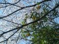 桜と蜜柑の絶妙なコラボレーション!