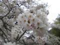 まだ七分咲き。五百川の桜。