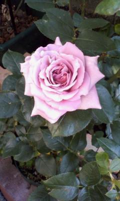 おはようございます(*^o^*)今朝バラの家の福袋が開花しました。何だろ