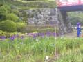小田原城の菖蒲なう。まだまだです。今日はコスプレイヤーも撮影して