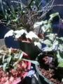 風蘭じゃなかった。セッコクとデンドロとアイビーの植え替えおわりー