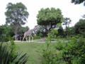 天王寺動物園きりん前なう