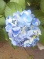 はろ〜たすです♪ もうすぐ梅雨入り、といえば紫陽花(あじさい)ですね