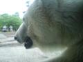 旭山動物園行ってきた。しろくまかわゆす。