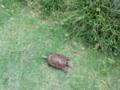 ミミズジャーキーを探している。地面に鼻をつけ匂いを追尾する警察犬