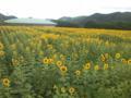 イマココ L:兵庫県佐用町 ヒマワリ畑にゃう(^^