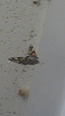 生協前の蜘蛛が放置した蜘蛛の巣に蛾が引っ掛かってジタバタして た