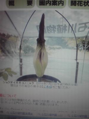 小石川植物園でショクダイオオコンニャクの花が今晩開花します。6〜