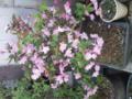 盆栽サイズの桜♪