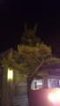 氏神さまで、竜の形の松の木発見〓