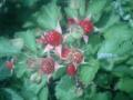 うちの土地に木苺が実ってた。酸っぱかった。