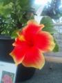今日の熱帯植物園(^q^)〜ハイビスカス・ハワイアン系トロピカルファイ