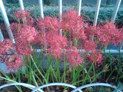 神田川沿いに彼岸花がきれいに咲いていました。先週の台風の後濁って