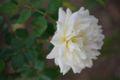 まだまだ小春日和♪先日きれいだった白い薔薇…。