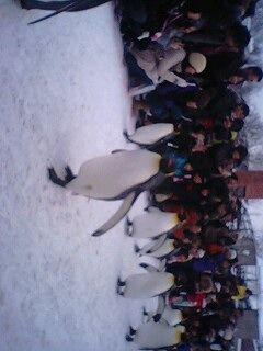 ペンギンのお散歩1@旭山動物園