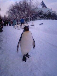 ペンギンのお散歩2@旭山動物園。一人だけせっかちなペンギンくんで