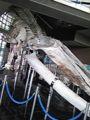シロナガスクジラの骨! 水族館出たよ〜
