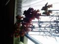 今年も幸来花が沢山咲いた。最近知ったのだが、リリー・ランプという