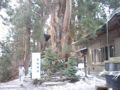 巨木 大杉 砥鹿神社奥の院の 御神木 寿命 約千年って人間とスケール違