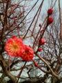 小春日和〜と思ったら 梅の花咲いてた。