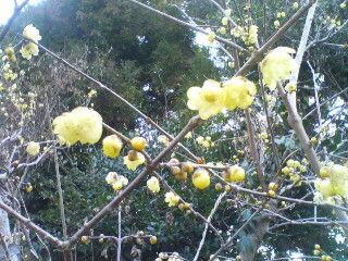 ソシンロウバイも咲いていました。出遅れてしまいましたが…。