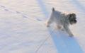 我が家の愛犬の「のんちゃん」です(笑)ミニチュアシュナウザーなの