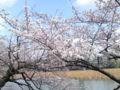 上野現場終わり!不忍池通ると気の早い桜が♪