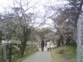 夙川に着いた桜が綺麗
